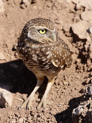 burrowing owl 00171ccb (daforsyth65) Tags: saltonsea burrowingowl sonnybononationalwildliferefuge