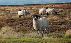 Inquisitive (crafty1tutu (Ann)) Tags: travel england holiday animal sheep unitedkingdom heather northyorkshire 2015 northyorkshiremoors anncameron catandmoose blackfacedsheep naturethroughthelens canon5dmkiii crafty1tutu naturescarousel arborsquare canon28300lserieslens