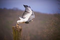 Aguja take off (uli@l) Tags: 300mm f4 afs edersee melanoleucus nordhessen wildtierpark geranoaetus