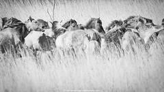 who will take the lead .... (robvanderwaal) Tags: blackandwhite bw nature netherlands monochrome animal animals mono blackwhite zwartwit nederland natuur paard paarden lauwersmeer zw 2016 konik konikpaard konikhorse rvdwaal robvanderwaalphotographycom