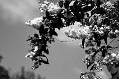 Flowers (Sazzaheaton) Tags: flowers sky white black nature clouds contrast pretty calming ciaroscuro contast