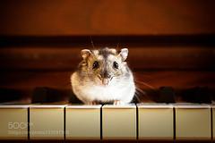 """Shiro"" Piano Mini-Concert (ABulimia159) Tags: pet pets animal animals spring concert piano recital hamster"