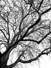 Walnuss (skloi) Tags: walnuss schwarz weiss black white tree 9mm