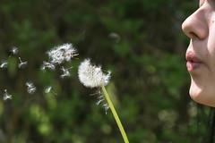 Lass Deine Trume fliegen ! - Let Your dreams fly ! (ralfkai41) Tags: blowing wnschen dreams fliegen nature blte flying pusteblume blume lwenzahn dandelion natur pusten