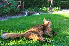 The boys at ease (Finn Frode (DK)) Tags: pet cats animal cat garden denmark afternoon rags olympus som rest somali mixedbreed somalicat ease bastian outdoo domesticshorthair omdem5 dusharatattersandrags