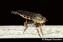 Robber Fly (Silveryway) Tags: macro japan insect fly hunter robber promachus yesonicus
