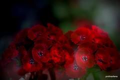 red Sweet Williams on a   boring rainy May  day (profmarilena) Tags: red abstract macro art collage closeup creative sweetwilliam rosso sigma150 nikond810 garofanideipoeti garofaniamazzetti