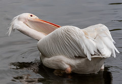 Captain Beaky (John Penberthy LRPS) Tags: london nature water westminster birds nikon pelican stjamespark d750 johnpenberthy