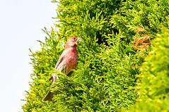 DSC_3064-1 (bjf41) Tags: bird finch