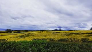 Rolling fields of rapeseed (Brassica napus) #Leeds #rapeseed #brassica #Wyke #Shadwell #PhotoOfTheDay #Landscape #rapeseedfield #rape #clouds #cloud #cloudporn #instagram #cloudy #cloudstagram #landscapelovers #lark #LarkFilter #field #nature #westyorkshi