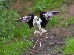 Cavaliere d'Italia (Pietro Donato) Tags: dance volo animale uccello cavaliere ditalia aperto sfuocato