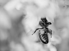 Abeille - Rcolte de  pollen (steph20_2) Tags: white monochrome closeup insect lumix noir noiretblanc ngc panasonic bee maco monochrom tamron 90 abeille insecte m43 gh3 sp90 skanchelli