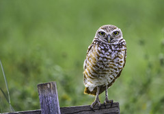 Burrowing Owl (C. P. Ewing) Tags: owl bird burrowing birds owls animal animals nature outdoors avian