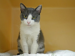 Daffodil_02 (AbbyB.) Tags: rescue pet cat newjersey feline shelter adopt adoptable shelterpet petphotography easthanovernj mtpleasantanimalshelter