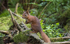 Red Squirrel (Margaret S.S) Tags: red rodent squirrel