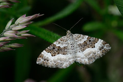 Wood Carpet Upton NWT Norfolk (JohnMannPhoto) Tags: upton nwt insects moth carpet wood