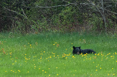 Laying down on the job! (1 of 2) ((nature_photonutt)) Tags: blackbear lyingdowningrass eatinggrassanddandelions