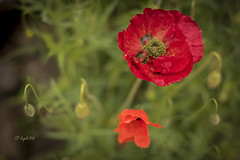 rote Mohnblte (hph46) Tags: flower rot sony pflanze poppy blume blte papaver knospe mohn alpha7r