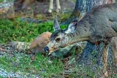 mule deer - banf NP, canada (AB) 2 (Russell Scott Images) Tags: canada mountains rocky ab canadian alberta banff banffnationalpark muledeerodocoileushemionus