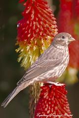 20160525_6473 On a Red Hot Poker (Exploring Imagery) Tags: bird birds washington birding portangeles washingtonstate birdwatching birdsofwashington canon70d exploringimagery