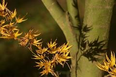 leaf-shadow (diminoc) Tags: shadow tree green yellow maple arboretum westonbirt trunk