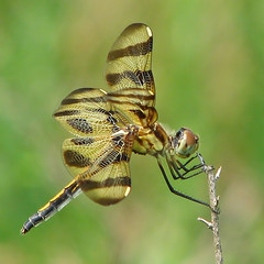 they're back !!! (Vicki's Nature) Tags: brown female canon georgia gold dragonfly stripes s5 biello halloweenpennant 2296 vickisnature