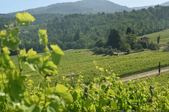 DSC_3870 (erinakirsch) Tags: italy castle landscape florence vineyard view wine vine winery vineyards views tuscany toscana grape grapevine florenceitaly frescobaldi winegrapes nipozzano