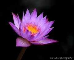 Don't get so tolerant.... (itucker, thanks for 2.2+ million views!) Tags: macro waterlily lily dukegardens