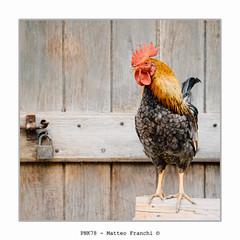 Toh un gallo nel pollaio! (PKN78 - Matteo Franchi) Tags: gallo cock pollaio henhouse
