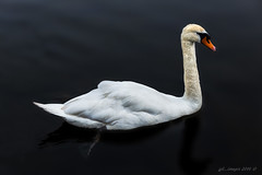 The Lone Swan (kirby126) Tags: white lake water swan wildlife lone canon6d canon70200f4i