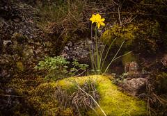Narciso silvestre (alvarogf18) Tags: musgo flor narciso