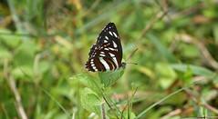 156. The Northern Dot-dash Sergeant Butterfly (Athyma kanwa phorkys), Near Gosalithan, Nepal (Jay Ramji's Travels) Tags: nepal lepidoptera nymphalidae brushfootedbutterfly gosalithan northerndotdashsergeantbutterfly athymakanwaphorkys