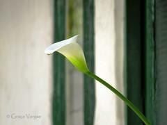 Cala Lily ( Graa Vargas ) Tags: calalily flower white zantedeschia graavargas zantedeschiaaethiopica copodeleite 2016graavargasallrightsreserved 17405220716