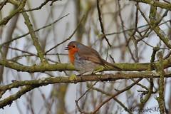 Petirrojo europeo / European Robin (Erithacus rubecula) (avgomo) Tags: espaa robin fauna spain aves salamanca petirrojo