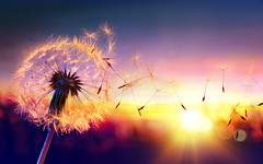Dandelion To Sunset - Freedom to Wish. (noor.khan.alam) Tags: light sunset summer sky italy sun sunlight macro nature closeup season freedom flying spring wind background air seasonal blowing scene dandelion seeds single pollen wish delicate allergy wishing