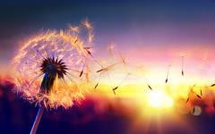 Dandelion To Sunset - Freedom to Wish. (noor.khan.alam) Tags: light sunset summer sky italy sun sunlight macro nature closeup season freedom flying spring wind background air seasonal blowing scene dandelion seeds single pollen wish delicate allergy wishing