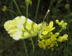 Provence Orange Tip - Anthocharis euphenoides (Camerar) Tags: france butterfly insect butterflies pyrenees pieridae anthochariseuphenoides provenceorangetip