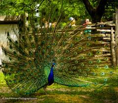 Lovely plumage squire! (Paul Henman) Tags: toronto ontario canada feathers peacock photowalk centreville plumage torontoislands 2016 torontointernationaldragonboatracefestival topw paulhenman torontophotowalks httppaulhenmanphotographycom topwdbrf16