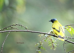 Black headed bulbul (Tok Ki, an idiot with cameras. (1.5 mil viewers)) Tags: bird nature wildlife 1001nights bulbul tokki blackheadedbulbul pungut