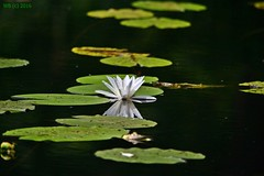 DSC_0253n wb (bwagnerfoto) Tags: summer lake plant flower reflection green water nationalpark pond flora wasser outdoor blume teich t virg lobau vz donauauen tavirzsa tndrrzsa
