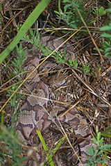 Copperhead (cre8foru2009) Tags: nature georgia reptile copperhead herping agkistrodoncontortrix reptilesandamphibians