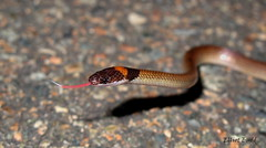 Red-naped Snake (elliotbudd) Tags: snake queensland diadema townsville elapidae rednaped naped elapid furina