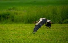 Flight (rvtn) Tags: bird nature birds wildlife birding flight czechrepublic stork whitestork southbohemia ciconiaciconia