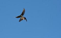 Swallow Beat Down (Ktach.us) Tags: tree nature birds fight nikon wildlife flight down beat wetlands swallow 70300 d7200