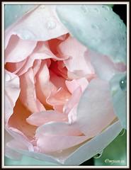 _JVA6820 (mrjean.eu) Tags: park pink flowers blue red roses white france flower macro green nature fleur rose yellow fleurs nikon botanic lorraine botanique parc metz communal 105mmf28