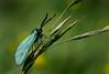 Ampfer-Grünwidderchen (Adscita statices), Holzwarchetal bei Wirtzfeld, Ostbelgien (Frank.Vassen) Tags: ostbelgien holwzarche holzwarchetal adscita adscitastatices gemeinesgrünwidderchen ampfergrünwidderchen erlseifen natura2000 lepidoptera