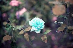 film (La fille renne) Tags: flower film nature rose analog 35mm lomography bokeh turquoise canonae1program 50mmf18 lomochrome lafillerenne lomochrometurquoise lomochrometurquoisexr100400