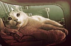 Cats Edition 7 - (33) (Robert Krstevski) Tags: pet cats pets animal animals cat photography kitten gator gators kitty kittens macedonia gato kitties gata photooftheday robertkrstevski robertkrstevskiblogspotcom