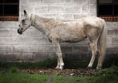 silver (A. Wrench) Tags: horse white animal wall wisconsin barn yard concrete spring mare farm tail bricks profile domestic mane equus nag hooves domestichorse