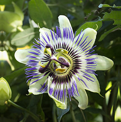 Passiflora (Kurt Braeckmans) Tags: nature closeup outdoor 100v10f 100mm l fl stacking f28 100mmf28l dofstacking